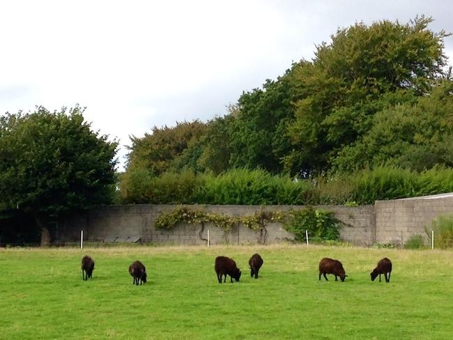 フランス 黒羊