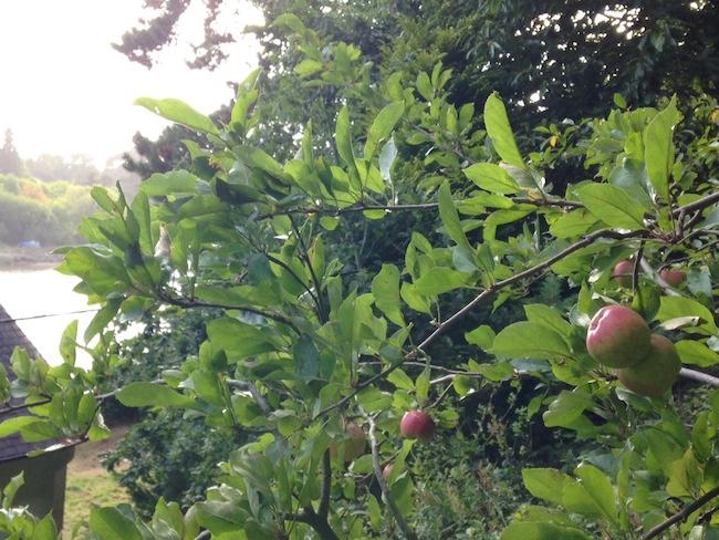 フランス リンゴの木